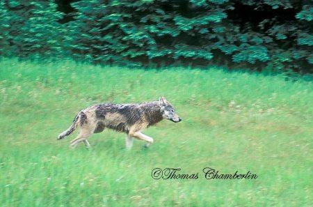 One Wet Wolf