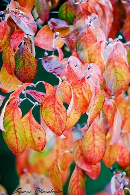 Autumn Dogwood Tree