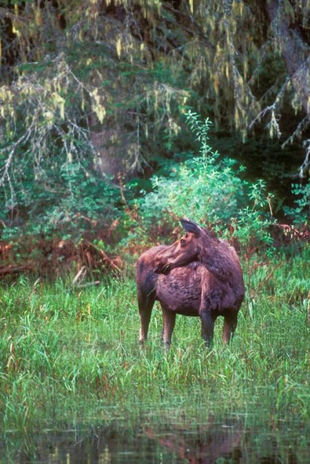 Cow Moose, Glacier National Park