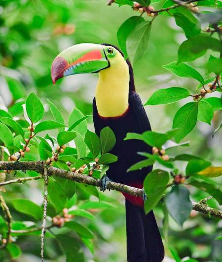 Keel billed toucan 091205 242