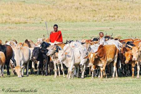 Maasai Herding Cattle