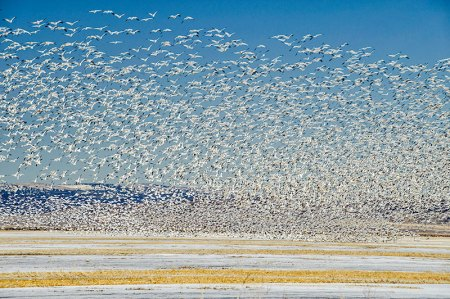 Snow Goose Blast-off
