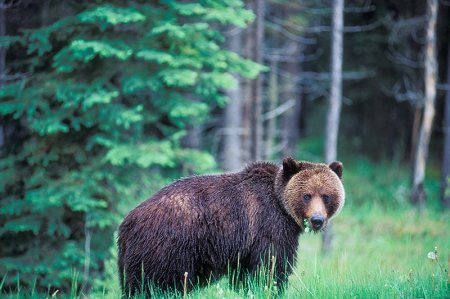 Wet Grizzly_Banff