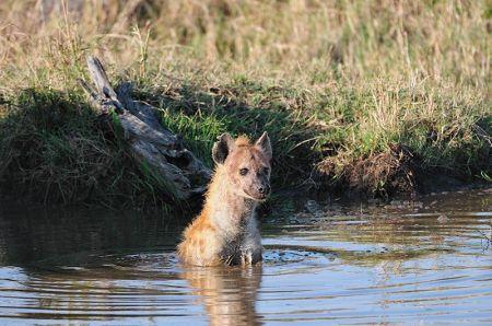 Hyena Bath