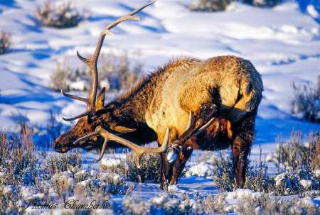 How Elk Scratch