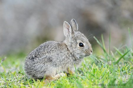 Mountain Cottontail Rabbit Baby