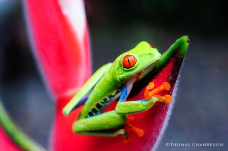 Red-eyed TGree Frog