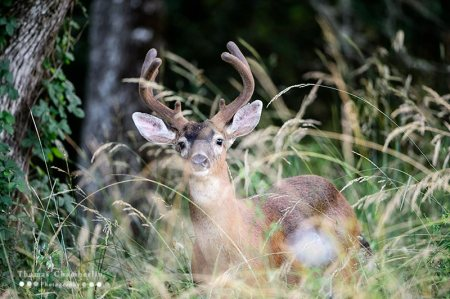Black-tail Deer