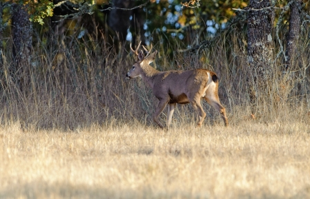 Black-tail Buck