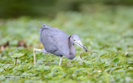Little Blue Heron with Pipefish