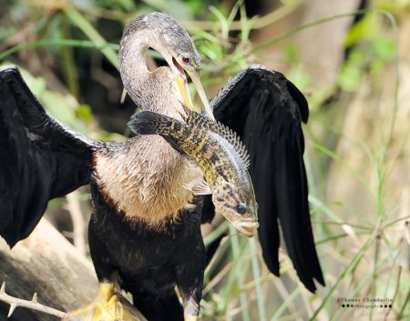 Anhinga with Rainbow Bass