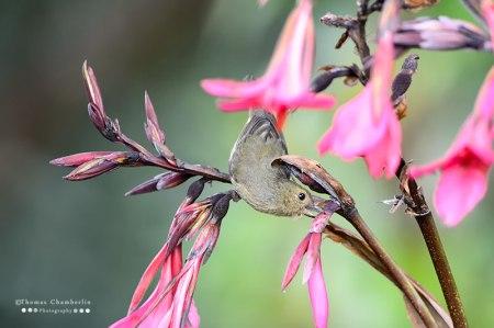Slaty Flowerpiercer piercing a flower.