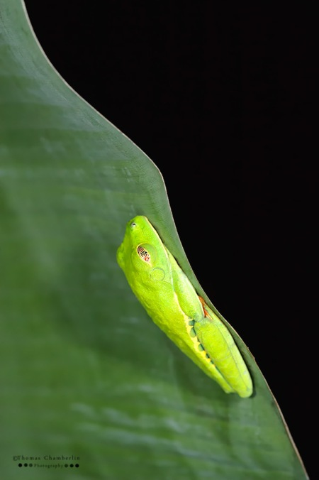 Sleeping red-eyed Tree Frog