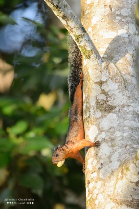Upside Down Squirrel