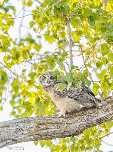 A fledgeling great horned owl on a cottonwood tree limb in spring.